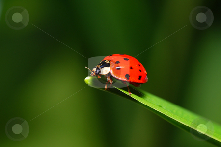Ladybird stock photo, Red speckled  ladybird on green grass by Jolanta Dabrowska