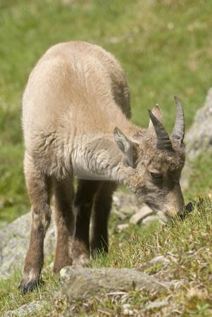 Alpine Ibex stock photo, Close up of Alpine Ibex (Capra ibex) by Stephen Meese