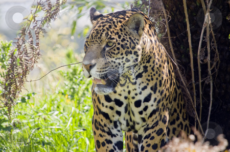 Jaguar stock photo, Close up of a Jaguar (Panthera onca) in forest by Stephen Meese
