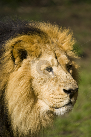 Lion stock photo, Close up of a Lion (Panthera leo) by Stephen Meese