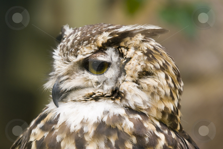 Ethiopian Eagle Owl stock photo, Close up of Ethiopian Eagle Owl (Bubo Capensis Dillonii) by Stephen Meese