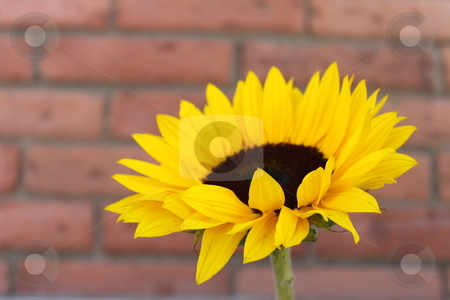 Sunflower stock photo, Close up of a sunflower with a red brick wall in the background by Henrik Lehnerer