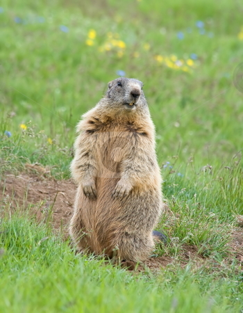 Sentinel stock photo, Marmot standing as sentinel on a green meadow in italian dolomites by ANTONIO SCARPI