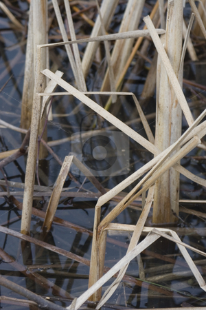 Cattail in water stock photo, Dried cattail in pond by Yann Poirier
