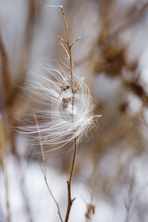 Feather seed stock photo, Seed caught in dried branch during winter by Yann Poirier