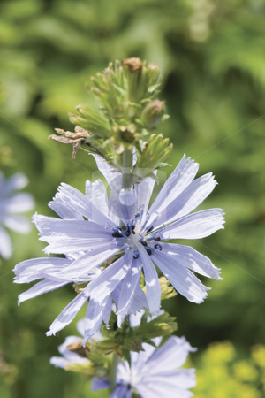 Blue field flower stock photo, Close-up of blue field flower by Yann Poirier