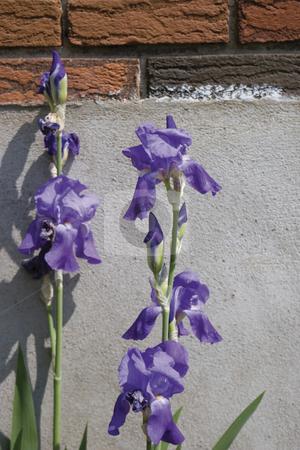 Purple Iris stock photo, Purple iris flower with brick and ciment background by Yann Poirier