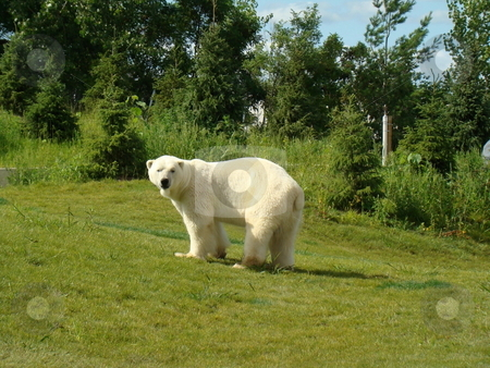 Polar bear stock photo, Large white polar bear at Toronto zoo by CHERYL LAFOND