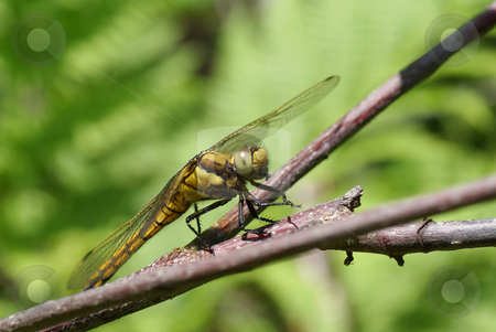 Dragonfly stock photo, Big dragonfly siting on thin stick by Jolanta Dabrowska