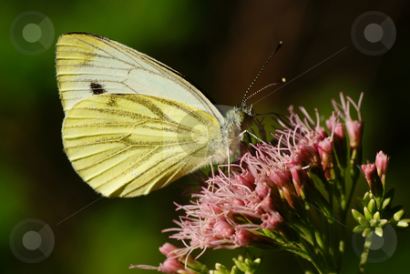 Butterfly stock photo, Yellow butterfly sit on purple flower by Jolanta Dabrowska