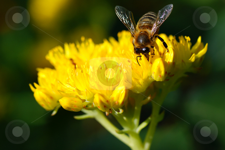 Bee stock photo, One honeybee collecting nectar of flower in garden by Jolanta Dabrowska