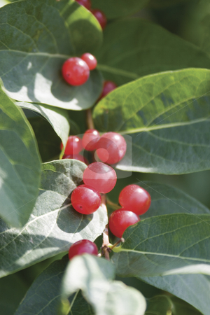 Red berry stock photo, Red berry on green leaves by Yann Poirier