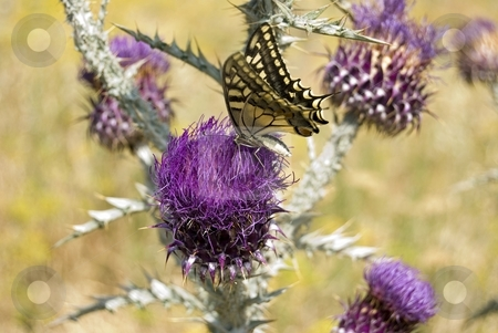 Madame Butterfly stock photo, Image shows a big butterfly above thistle flower. by Antonino Sicali