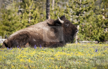 Bison stock photo, American Bison, Yellowstone National Park, Wyoming, United States by mdphot