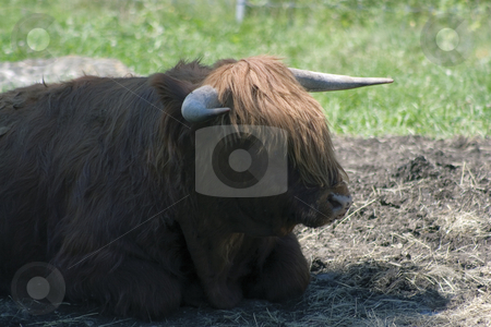 Bull stock photo, Bull lying in the shade by Yann Poirier