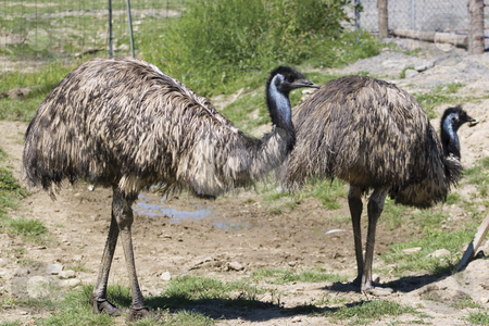 Emu farm stock photo, Couple of emu walking around in a farm by Yann Poirier