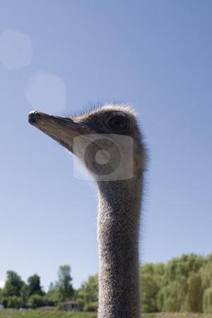 Ostrich head stock photo, Close-up of an ostrich head against blue sky by Yann Poirier