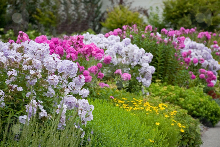 Rows of Summer Phlox Flowers stock photo, This photo shows a row of garden flowers summer phlox that invites you to stroll by and admire. by Valerie Garner