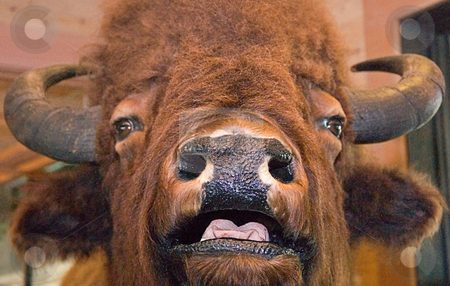Closeup of Buffalo Face stock photo, Closeup of A buffalo face with his mouth open and tongue slightly out. by Valerie Garner
