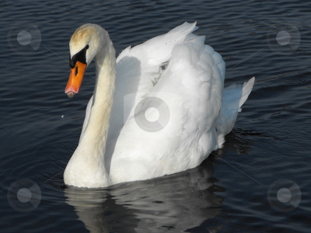 Mute Swan stock photo, Adult Mute Swan swimming by Michael Hadwen
