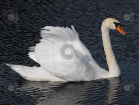 Adult Mute Swan stock photo, Adult Mute Swan swimming with its wings raised by Michael Hadwen