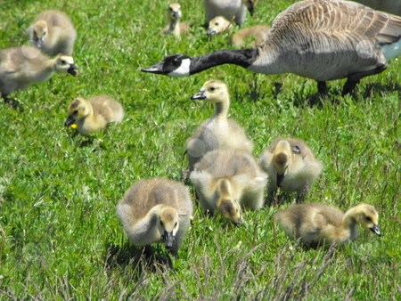 Canada Geese Goslings stock photo, Canada Geese Goslings being herded towards the water by Michael Hadwen