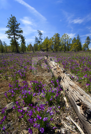 Grass Widow Meadow stock photo, Grass Widows cover a meadowon a sunny spring day in the Washington Cascade Mountains by Mike Dawson