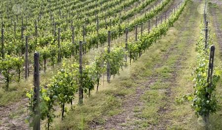 Vine stock photo,  by Fabio Alcini