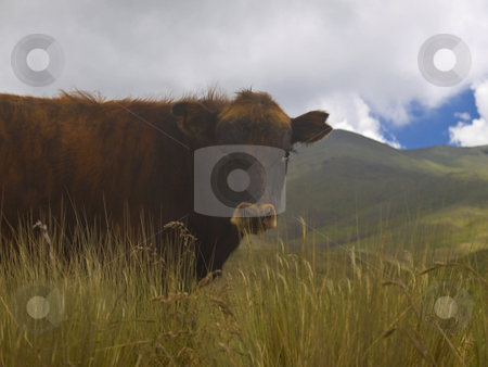 Brown cow stock photo, Brown adult cow on the meadow staring at the camera. by Ignacio Gonzalez Prado