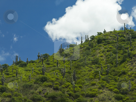 Cactus on the slope stock photo, A big number of cactus on the green slope. by Ignacio Gonzalez Prado