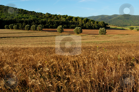 Tuscany landscape stock photo, A typical Tuscany landscape of a wheat field by ALESSANDRO TERMIGNONE