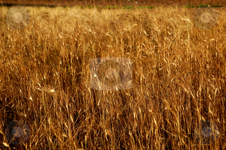Wheat field stock photo, Closeup of a yellow ripe wheat field by ALESSANDRO TERMIGNONE