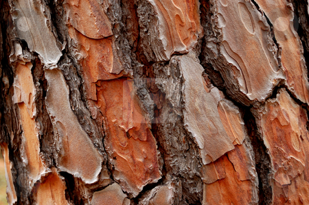Pine cortex stock photo, Closeup of a woody pine cortex by ALESSANDRO TERMIGNONE