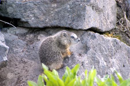 Hoary Marmot stock photo, USA, Idaho, Twin Falls, Shoshone Falls, A Hoary Marmot (Marmota caligata) by David Ryan