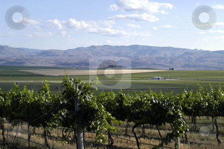 Vineyard stock photo, USA, Idaho, Canyon County Vineyard by David Ryan