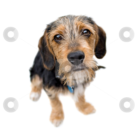 Cute Puppy Dog Sitting stock photo, A cute mixed breed puppy isolated over white. The dog is half beagle and half yorkshire terrier. Shallow depth of field. by Todd Arena