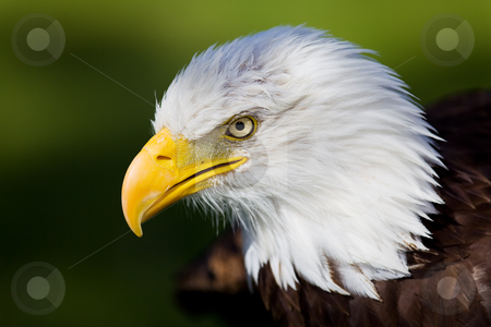Eagle stock photo, High resolution bald eagle portrait by Steve Mcsweeny