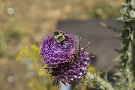 Thistle Flower stock photo, Image shows a thistle flower with a bee. by Antonino Sicali