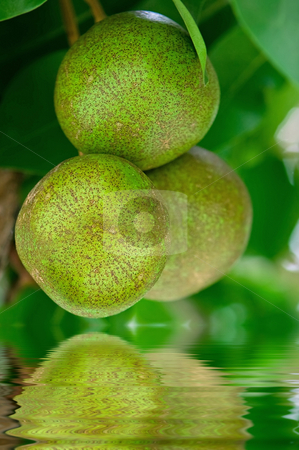 Pear tree reflected in water stock photo, Pear tree fruits in the tropical garden by Dmitry Rostovtsev