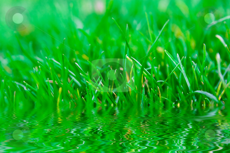 Grass reflection in water stock photo, Green summer grass with reflection in water by Dmitry Rostovtsev