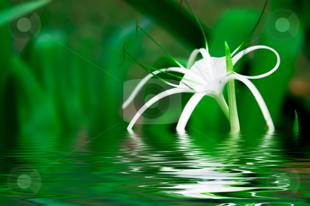 White flower stock photo, Gentle white flower on green background by Dmitry Rostovtsev