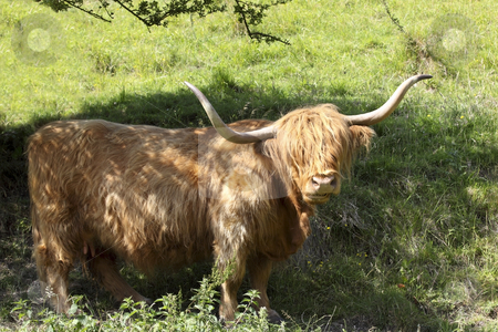 Highland cow in the shade stock photo, A highland cow standing under the shade of a tree in summer by Mike Smith