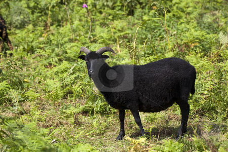 Hebridean sheep 2 stock photo, A hebridean sheep in a clearing in summer sunshine by Mike Smith