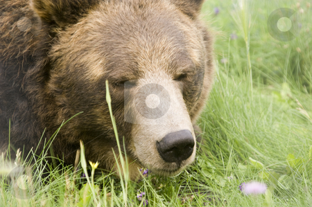 Brown Bear stock photo, Wild Brown Bear (Ursus americanus horribilis) in Banff National Park Canada by Stephen Meese