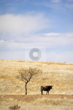 Cattle Grazing on Prairie Spring Grass stock photo, Cattle Grazing on Ranch Spring Grass. Single Longhorn standing under barren solitary shade tree by Jeff DeMent