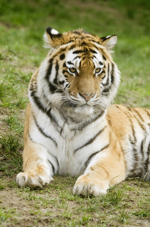 Amur Tiger stock photo, Amur Tiger (Panthera tigris altaica) looking to right of frame - portrait orientation by Stephen Meese