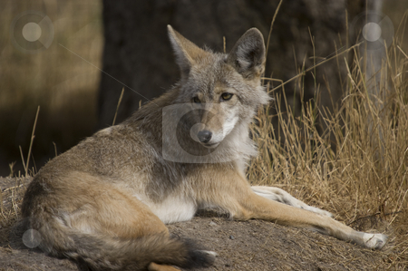 Coyote stock photo, Coyote (Canis latrans) in Banff National Park Canada by Stephen Meese