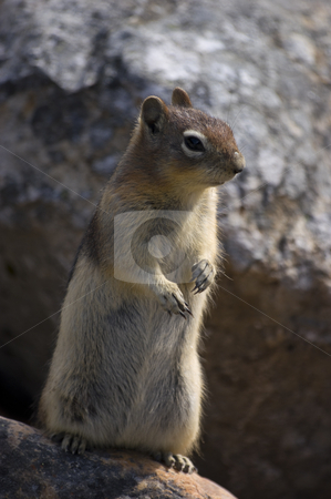 Golden Mantled Ground Squirrel stock photo, Close up of Golden Mantled Ground Squirrel (Spermophilus lateralis) by Stephen Meese