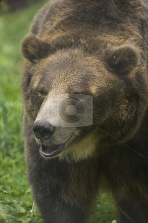 Brown Bear stock photo, Wild Brown Bear (Ursus americanus horribilis) Banff National Park by Stephen Meese