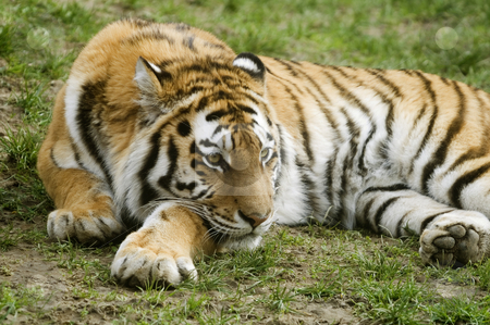 Amur Tiger stock photo, Amur Tiger (Panthera tigris altaica) looking to right of frame - landscape orientation by Stephen Meese
